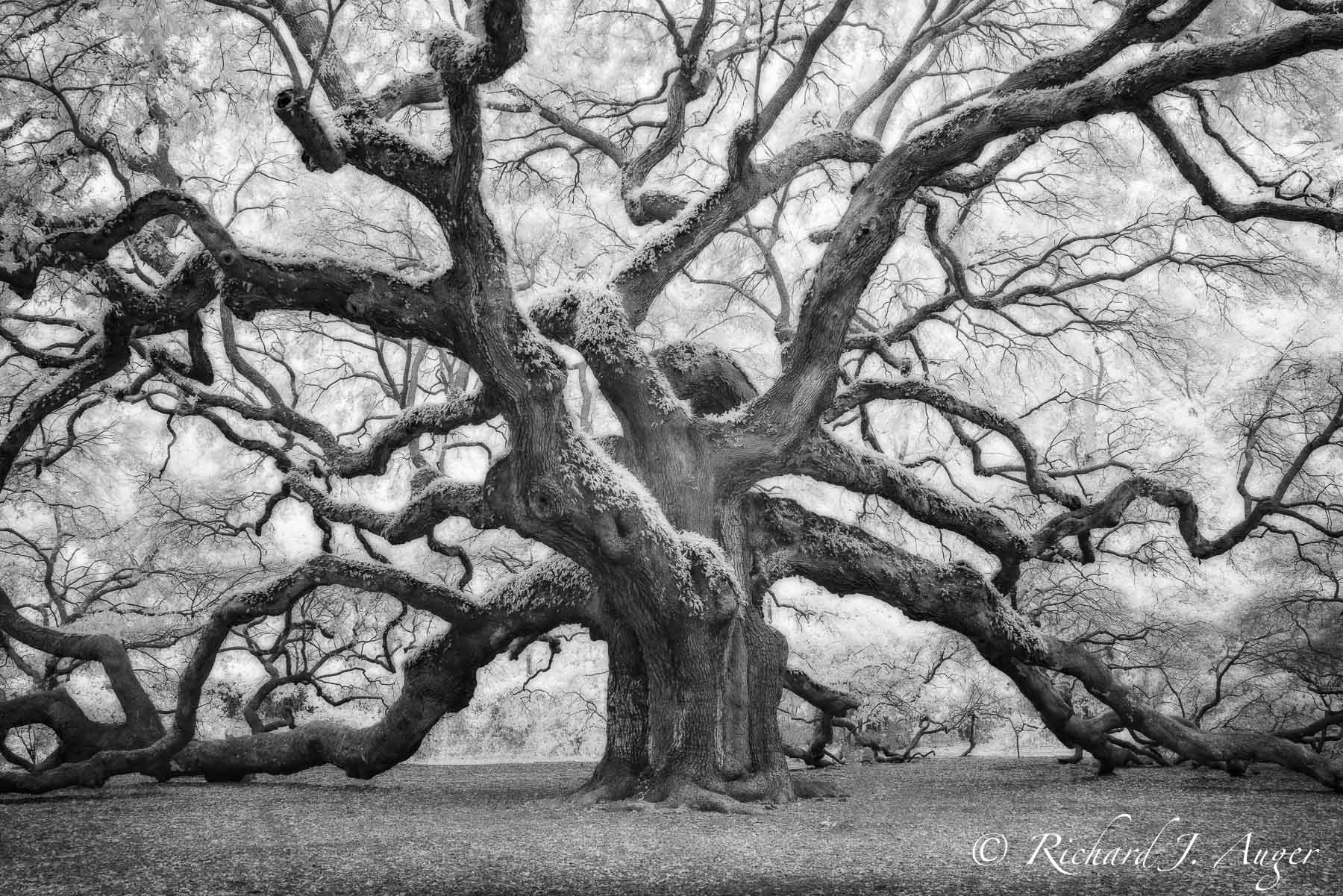 Angel Oak, South Carolina, Oak Tree, forest, black and white, photograph, nature