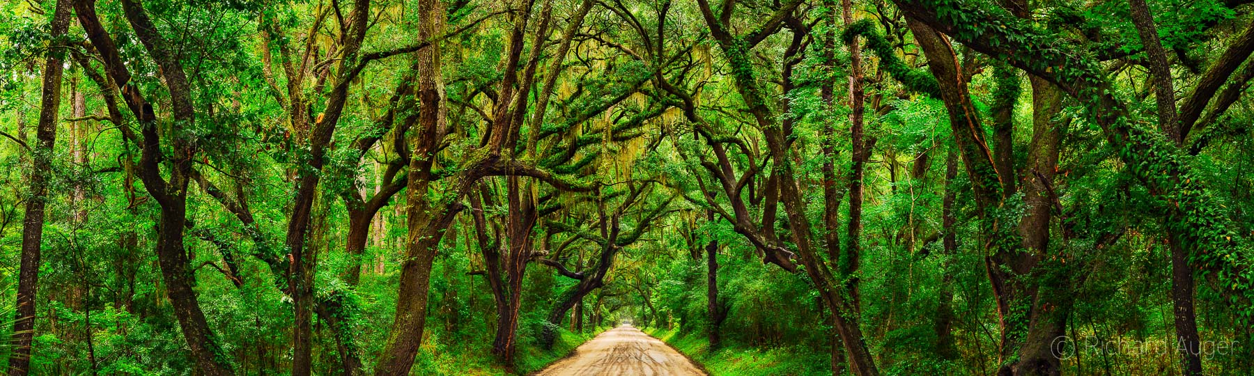 Botany Bay Road, Edisto Island, Tunnel of Oaks, South Carolina, Canopy, Panorama