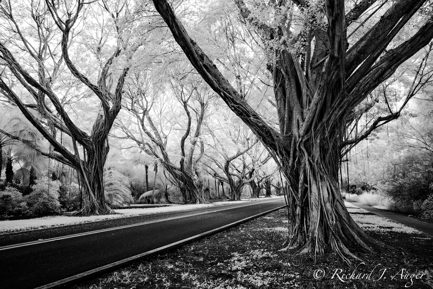 Banyan Trees, Bridge Road, Hobe Sound, Florida, Jupiter Island, Monochrome, Black and White, Infrared, Photograph