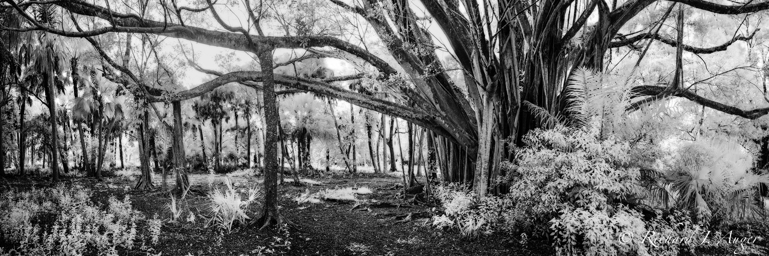 Banyan Tree, Riverbend Park, Jupiter, Florida, Photographer, Forest, Fog, Black and White, Nature, Panorama