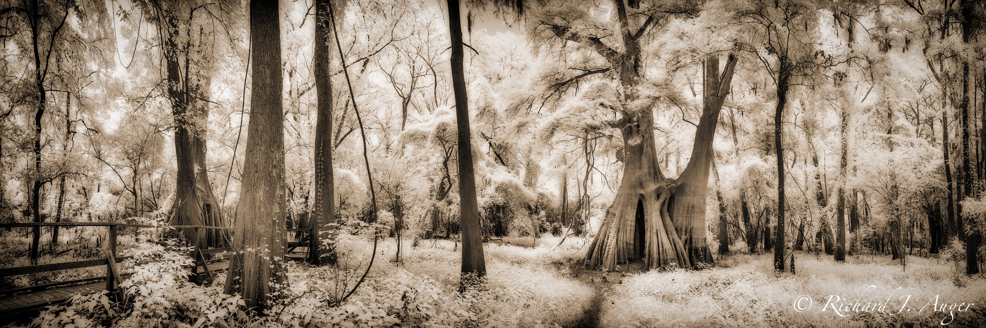 Cat Island Swamp, Louisiana, Forest, Cypress Trees, Oak Trees, magical, mystical, sepia, photograph, photographer, infrared
