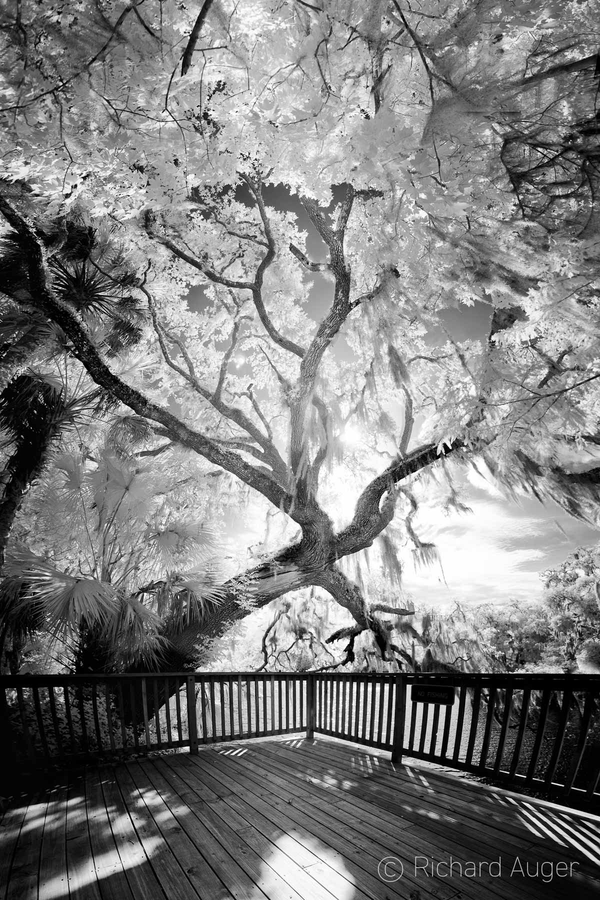 Blue Springs State Park, Florida, Boardwalk, Oak Tree, Black and White, Backlighting