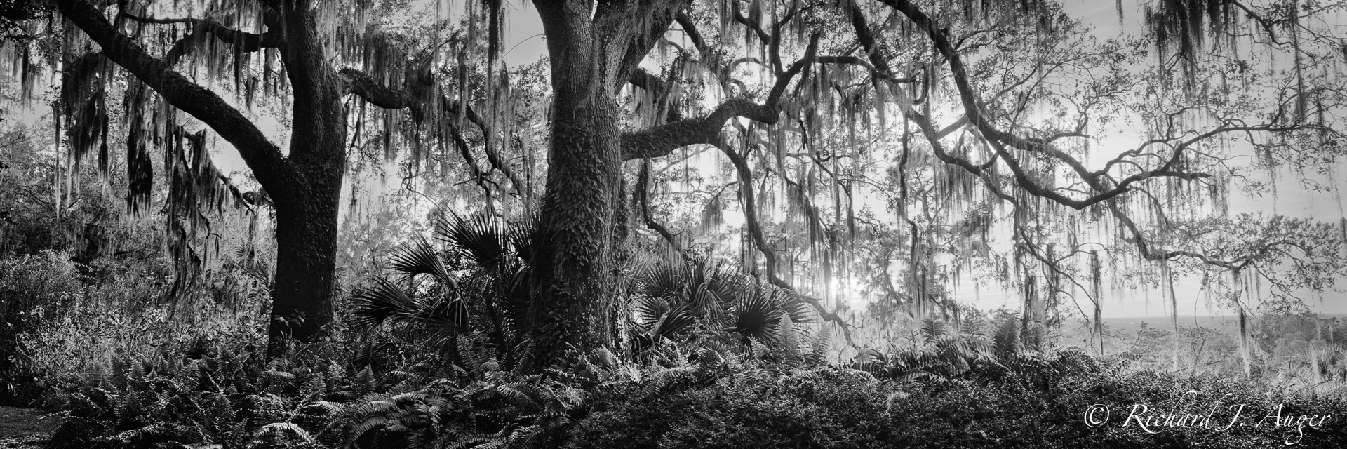 Bok Tower Gardens, Lake Wales, Florida, Forest, Oak Trees, Panorama, Black and White, Photograph
