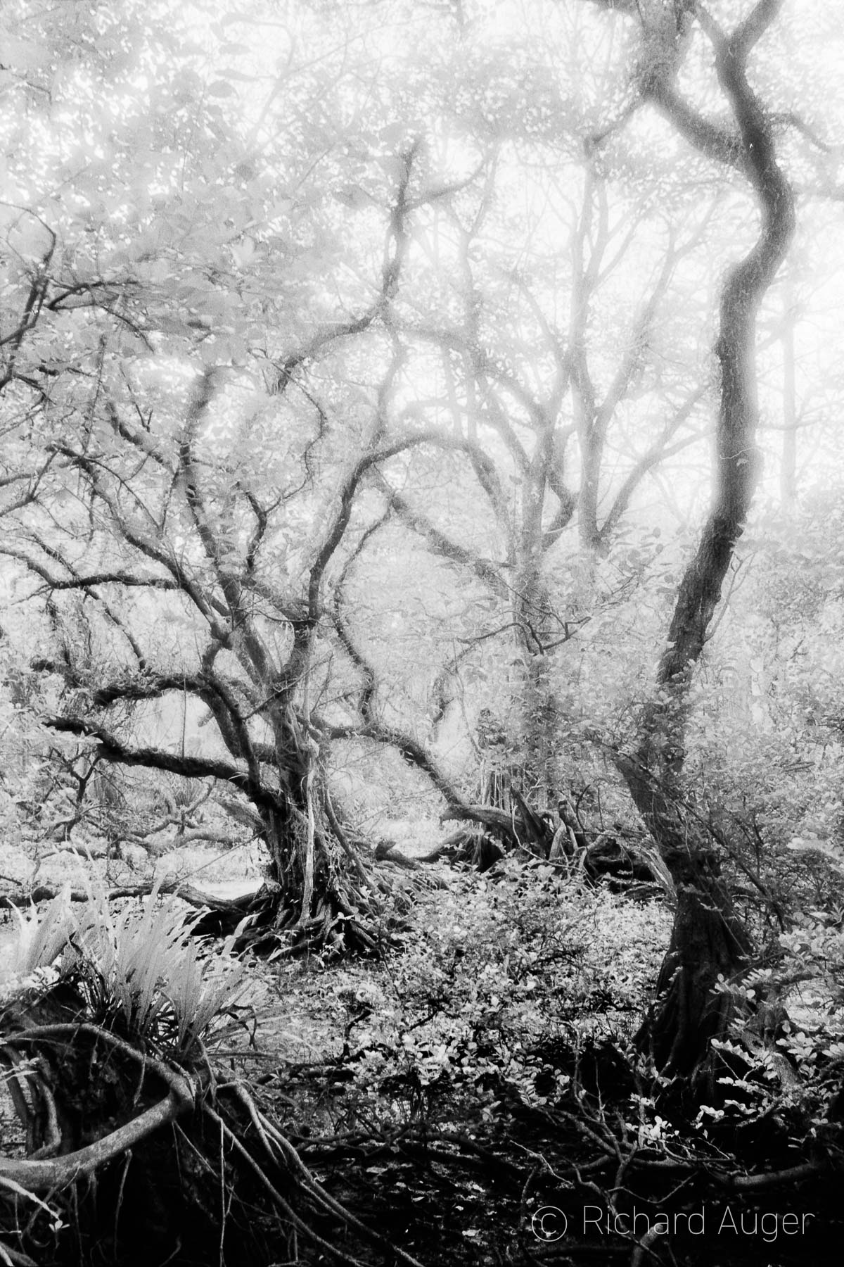 Everglades, Florida, Swamp, Black and White, Celestia Series