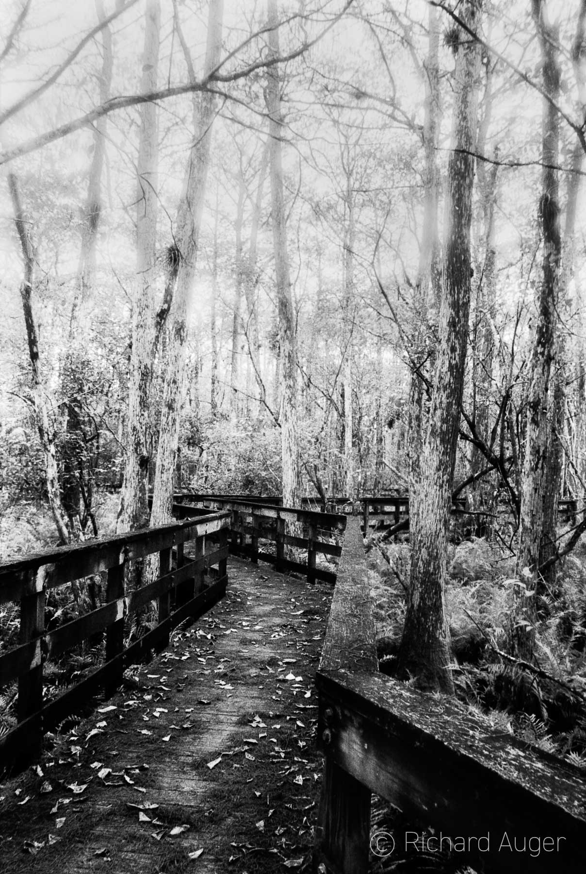 Everglades, Florida, Swamp, Boardwalk, Black and White, Celestia Series