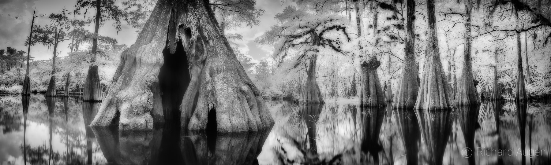 Suwannee River, Florida, Giant Cypress Trees, Water, Swamp, Sepia, Monochrome, Richard Auger, black and white, panorama