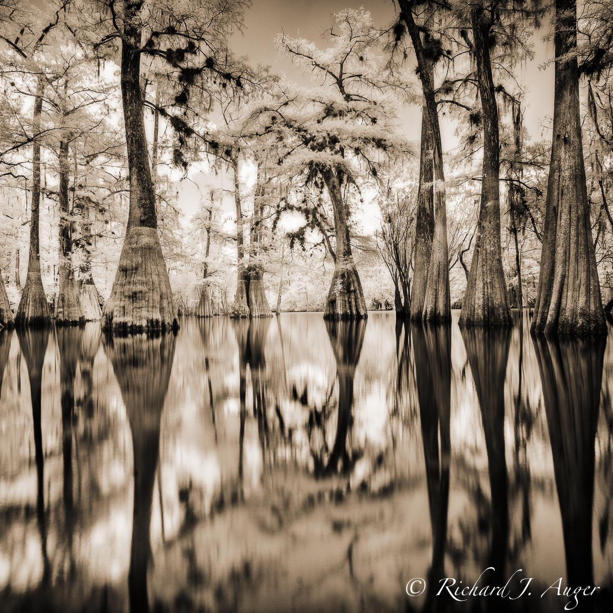 Suwannee River, Florida, Cypress, Swamp, Reflections, Tall, Landscape, water, photograph, square, sepia tone, black and white