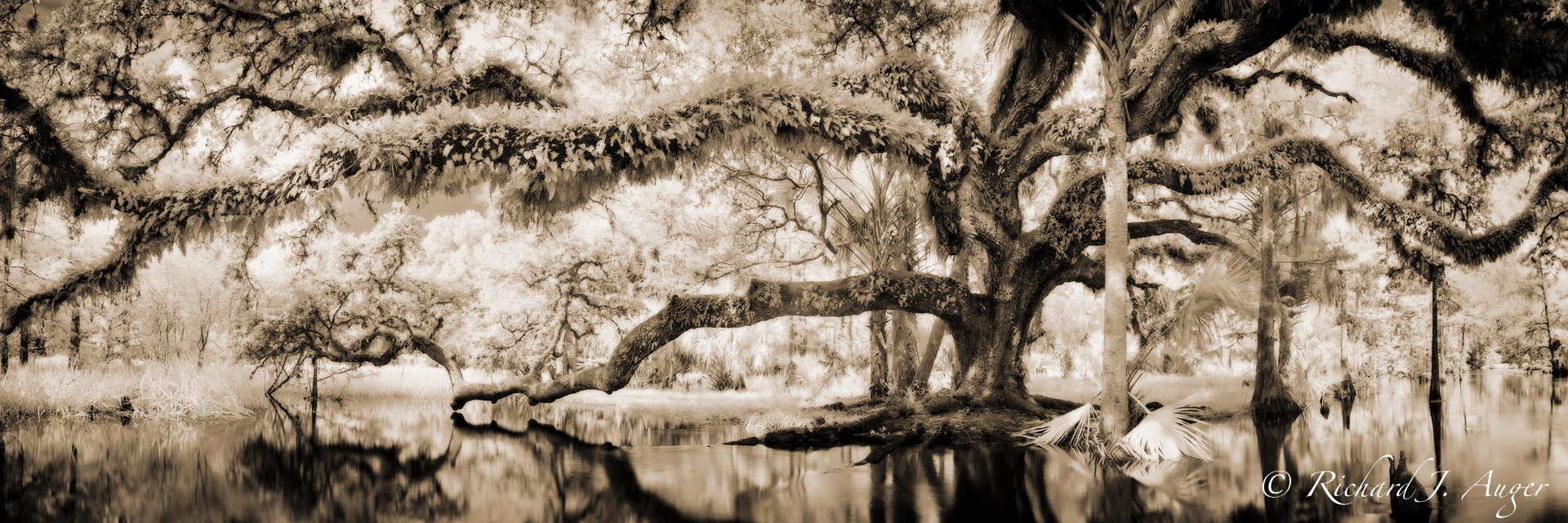 Fisheating Creek, Florida, Oak Tree, Water, Swamp, haunted, sepia, monochrome, landscape, photographer, sepia tone, black and white, panorama