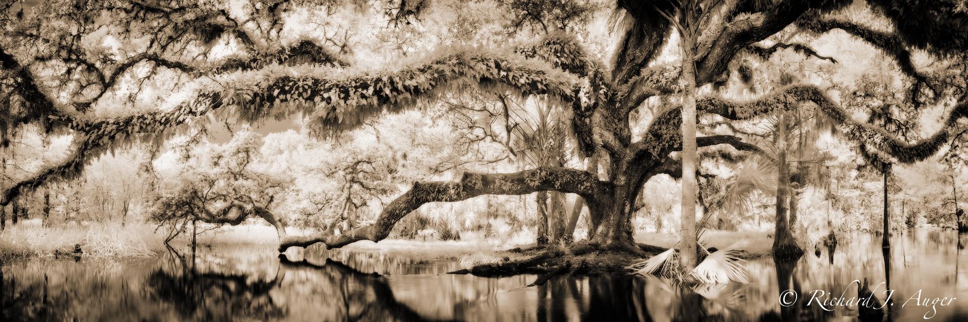 Fisheating Creek, Florida, Oak Tree, Water, Swamp, haunted, sepia, monochrome, landscape, photographer, sepia tone, black and white, panorama