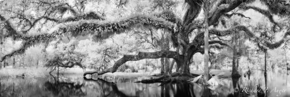 Fisheating Creek, Florida, Southern Live Oak, Infrared, Black and White, Monochrom, water, moss, photograph, lanscape, nature