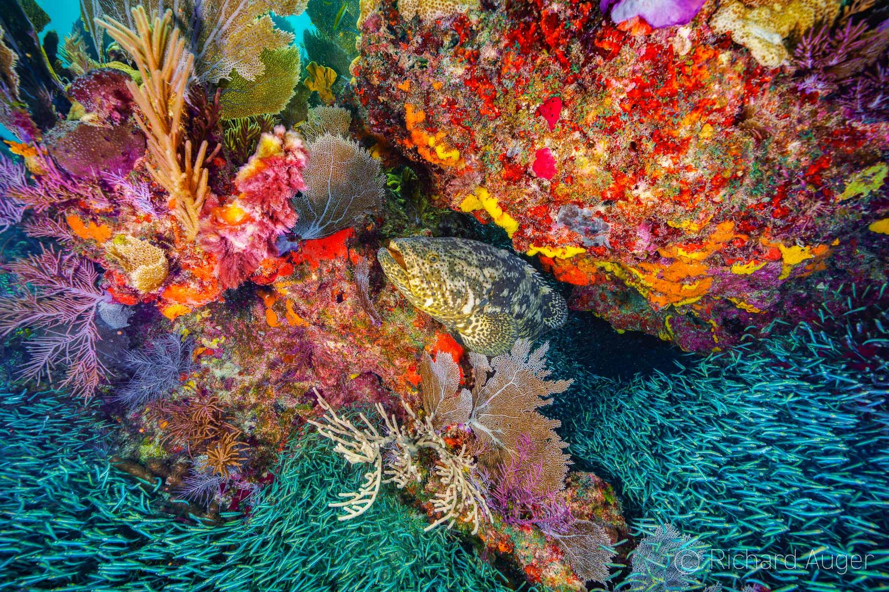 Goliath Grouper, Minnows, Reef, Banana Patch Reef, Key Largo, Florida Keys, Underwater Photography, Scuba