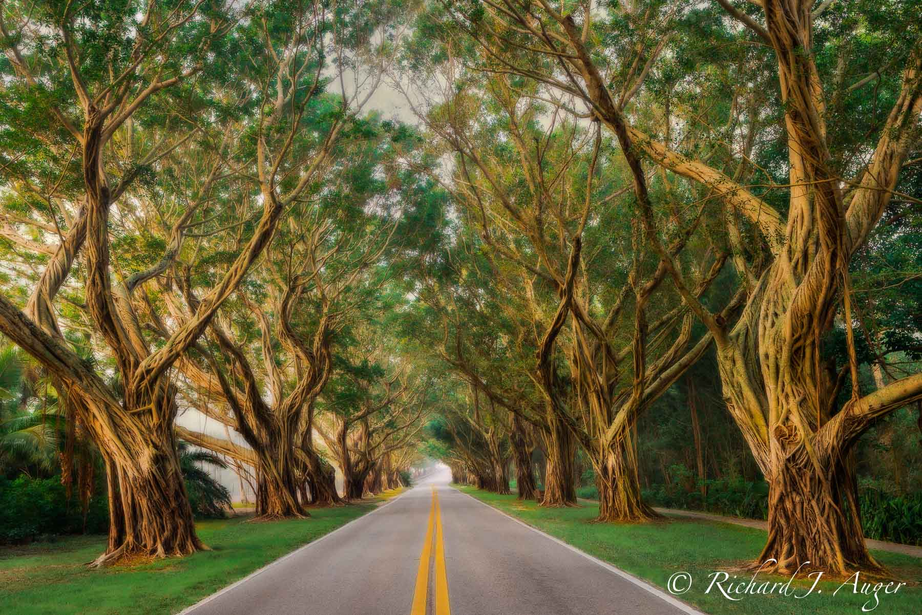 Hobe Sound, Florida, Banyan Trees, Fog, Road, Morning