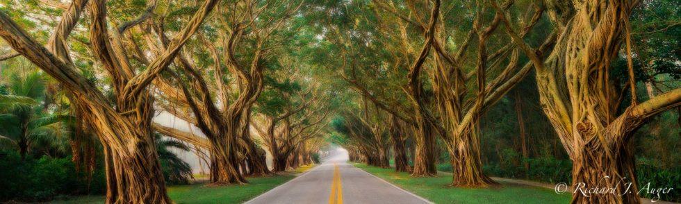 Hobe Sound, Florida, Jupiter Island, Banyan Trees, Fog, Road, Morning