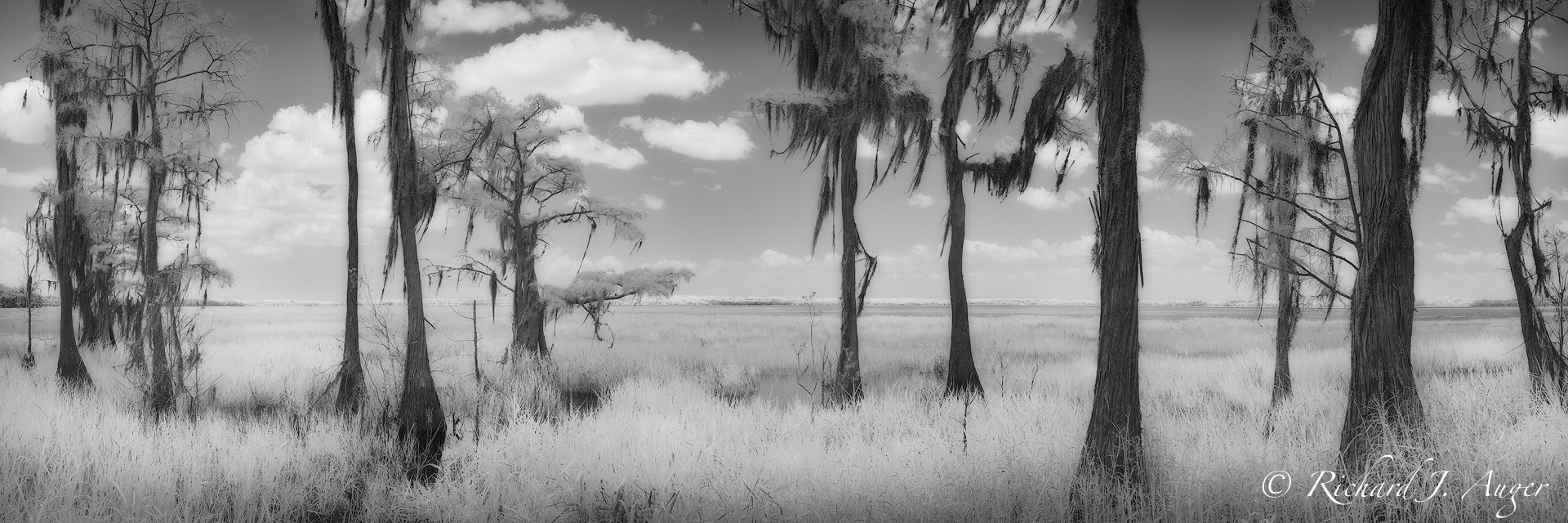 Lake Louisa State Park, Florida, Cypress Trees, Nature, Landscape, Photograph, Photographer, Monochrome, Black and White, Infrared, Richard Auger