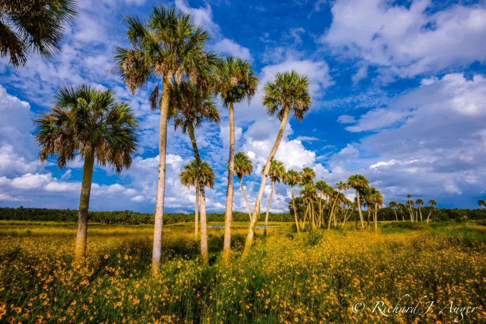 Little Big Econ State Forest, Florida, Wild Flowers, Sabal Palms, Swamp, Nature, Seminole County