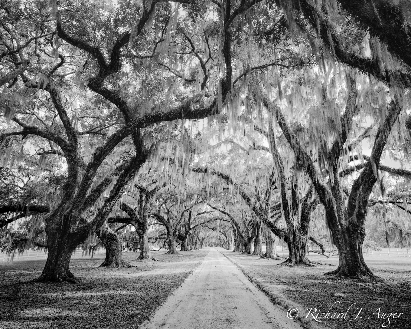 Low Country, South Carolina, Oak Trees, Canopy, Road, Black and White
