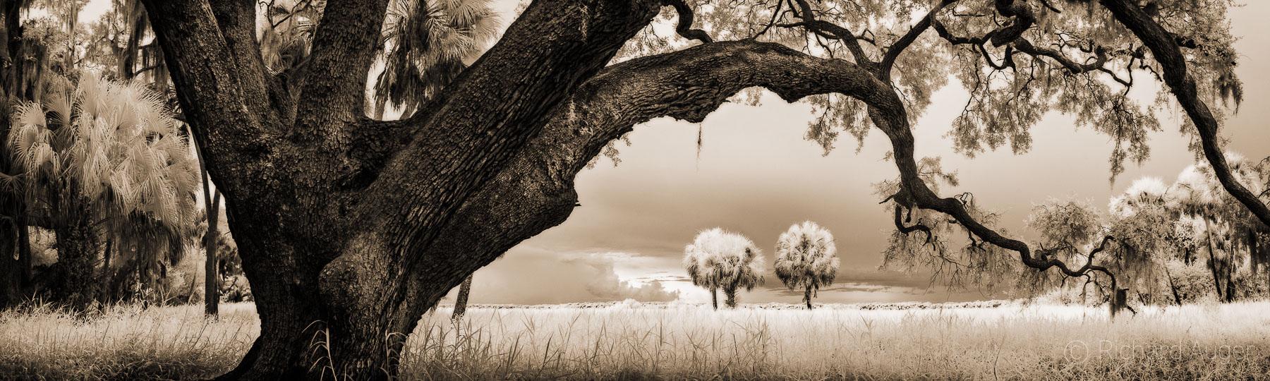 Myakka River State Park, Florida, Oak, Palm Trees, Swamp, Haunted, Sepia, Monochrome, Photograph, Nature, panorama