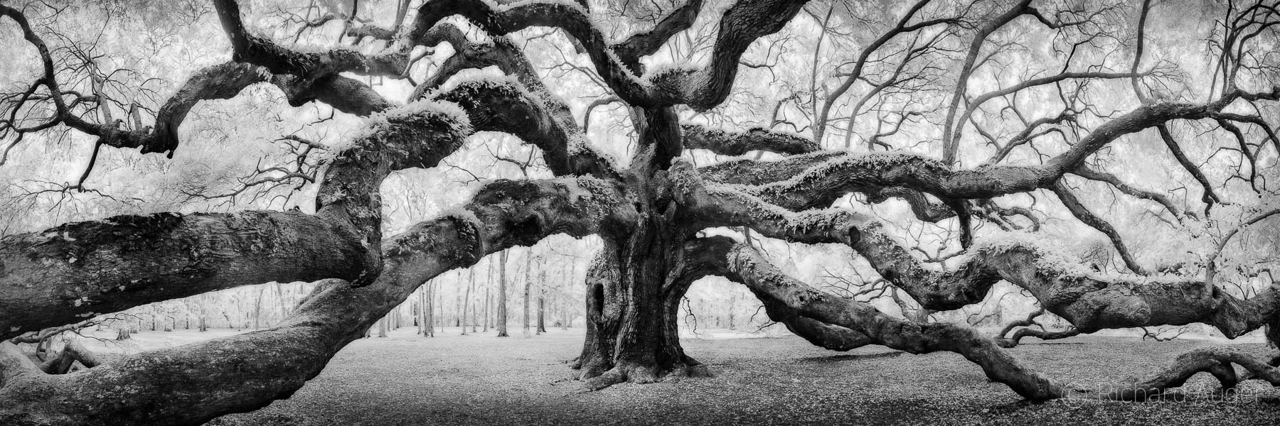 Angel Oak, South Carolina, Oak Tree, Spooky, forest, photographer, landscape, photograph, sepia tone, black and white, panorama