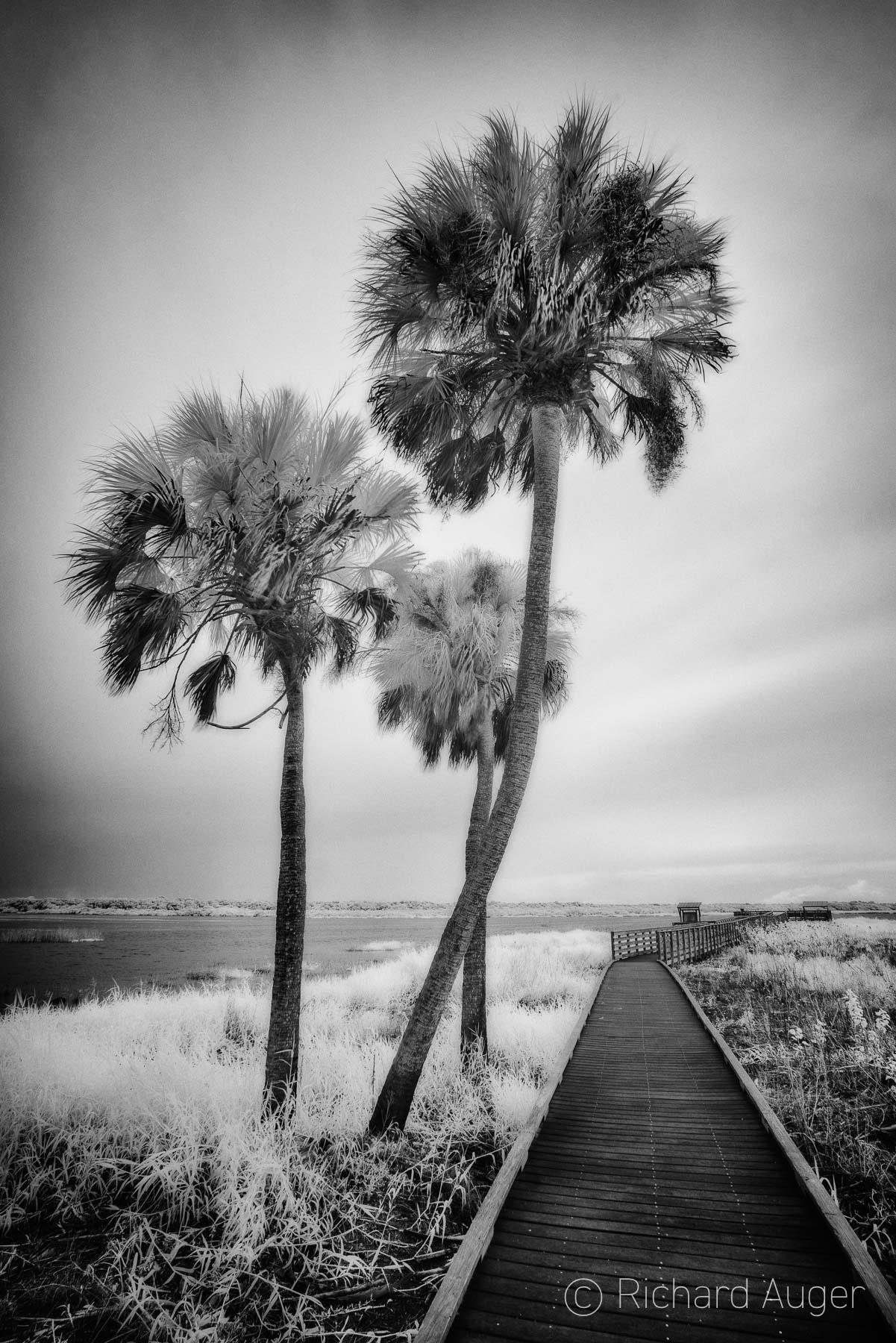 Myakka River State Park, Florida, Sarasota, Birdwalk, Palm Trees, Swamp, River, Black and White, Photograph, Landscape