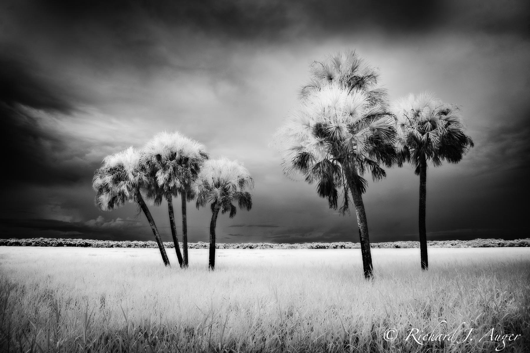 Myakka river state park florida palm trees black and white monorchrome