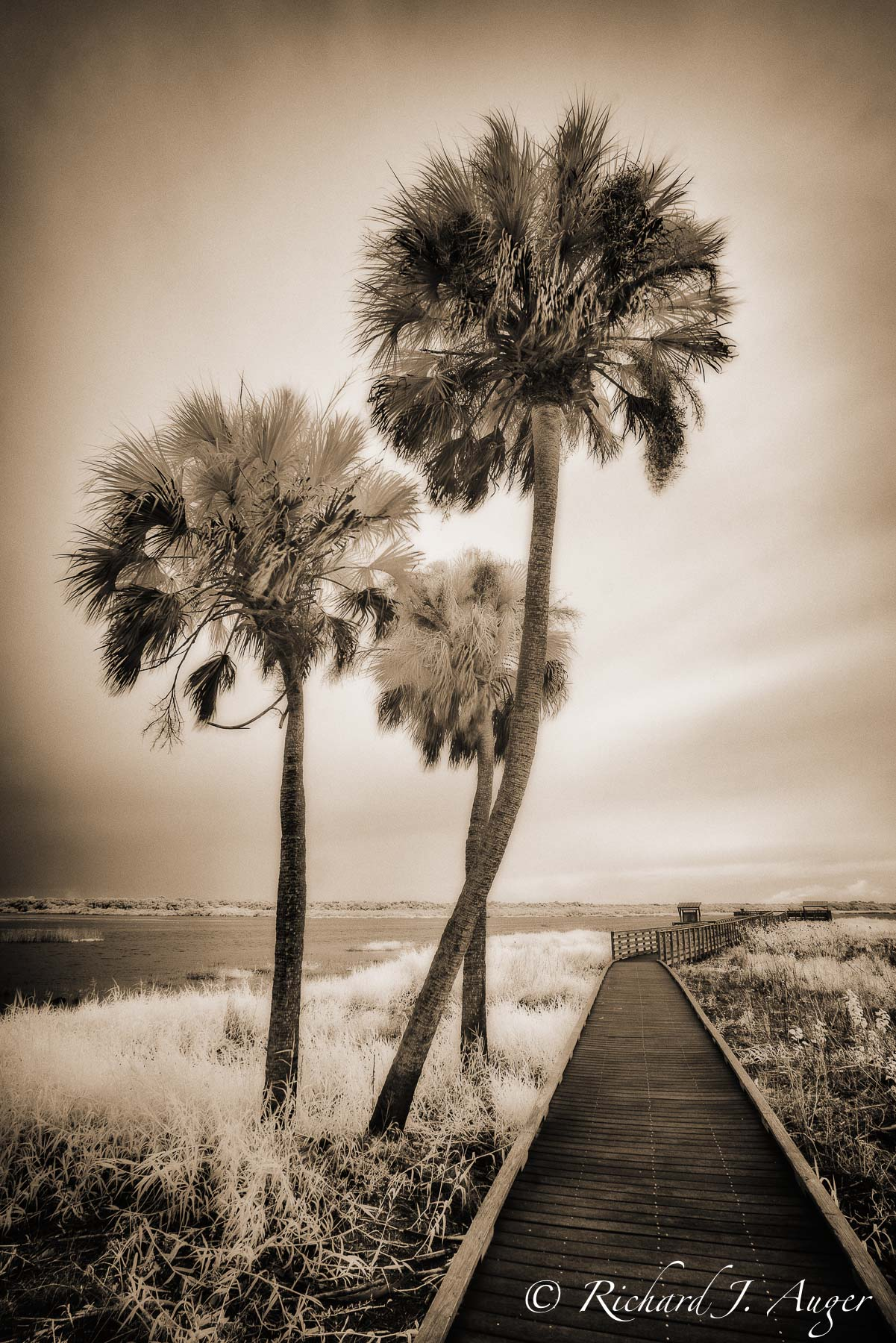 Myakka River State Park, Florida, Palm Trees, Walkway, swamp, infrared, photographer, landscape, sepia tone, monochrome