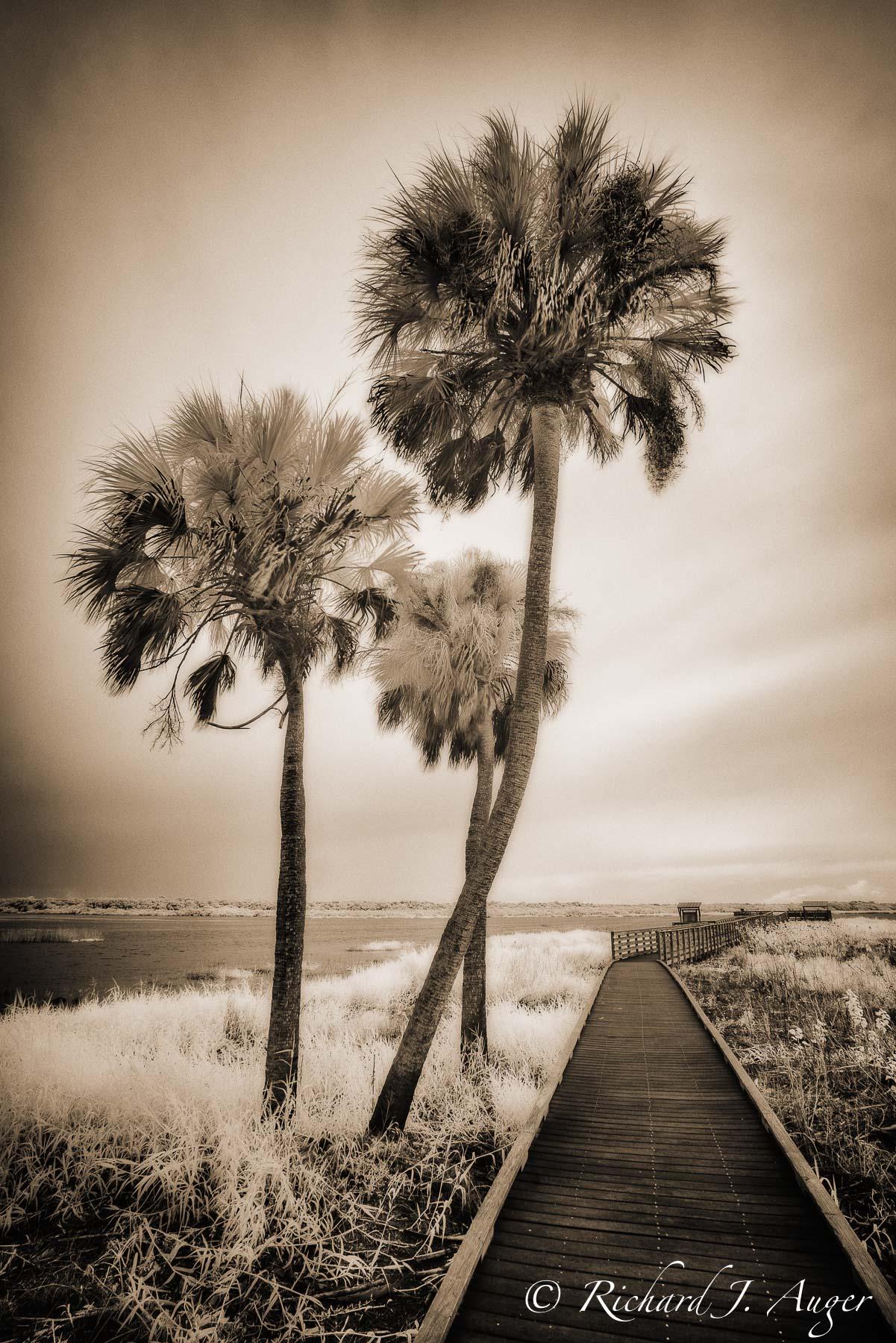Myakka River State Park, Florida, Palm Trees, Walkway, swamp, infrared, photographer, landscape, sepia tone, monochrome