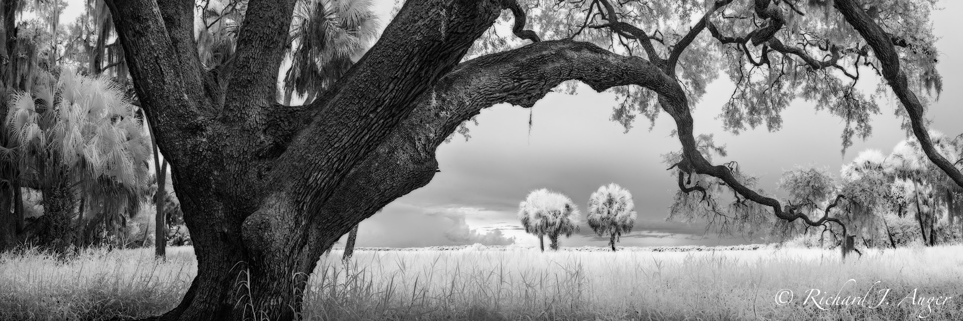 Myakka River State Park, Florida, Oak, Palm Trees, Swamp, Haunted, Monochrome, Photograph, Nature, black and white, panorama