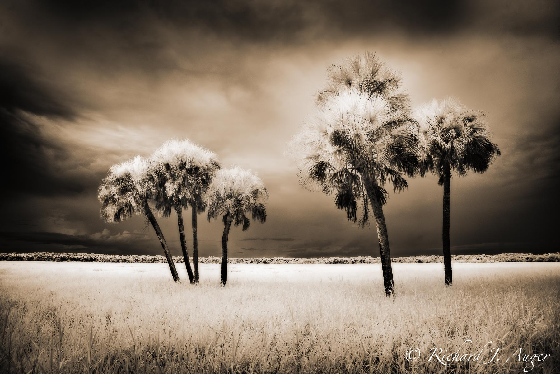 Myakka River State Park, Florida, Palm Trees, Infrared, Moody, Storm, Monochrome, Sepia, Photograph, Photographer, Landscape, Art