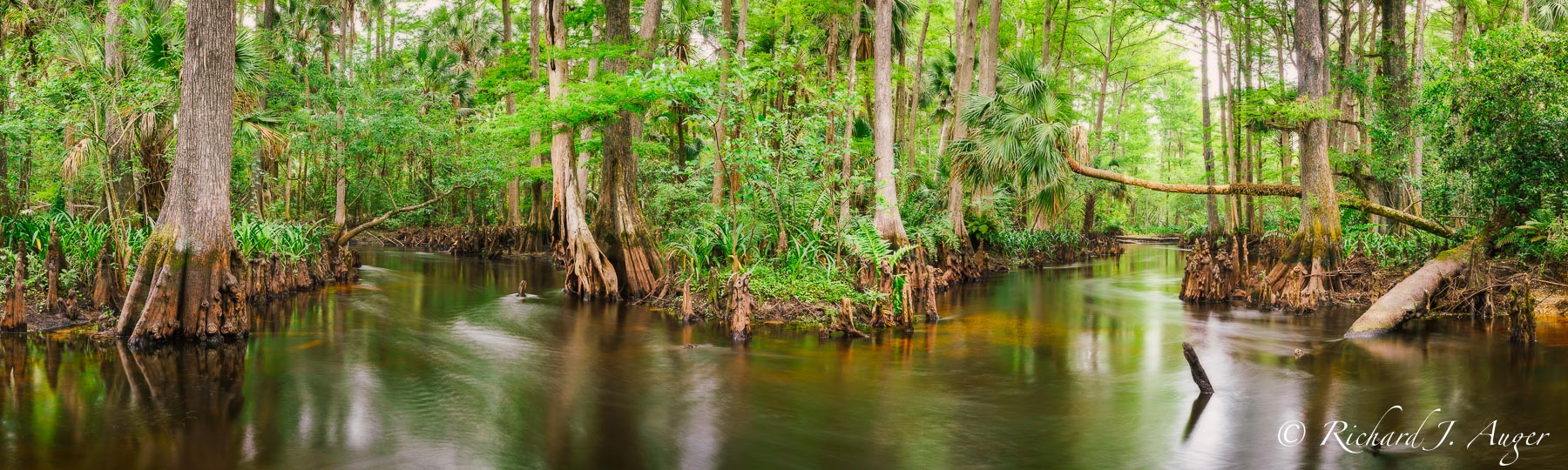 Loxahatchee River, Riverbend Park, jonathan dickinson state park, Florida, swamp, cypress, palm trees, blackwater, lanscape, photograph, photo, photographer, green, brown