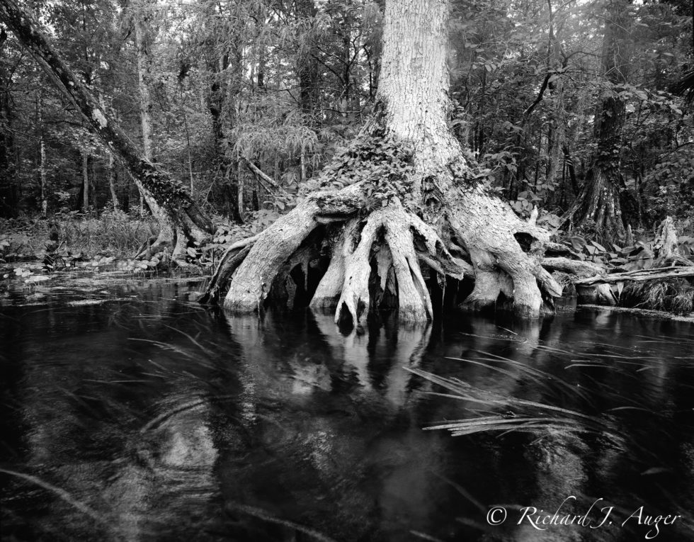 Silver River, Ocala National Forest, Cypress, Black and White, Photography, Photographer