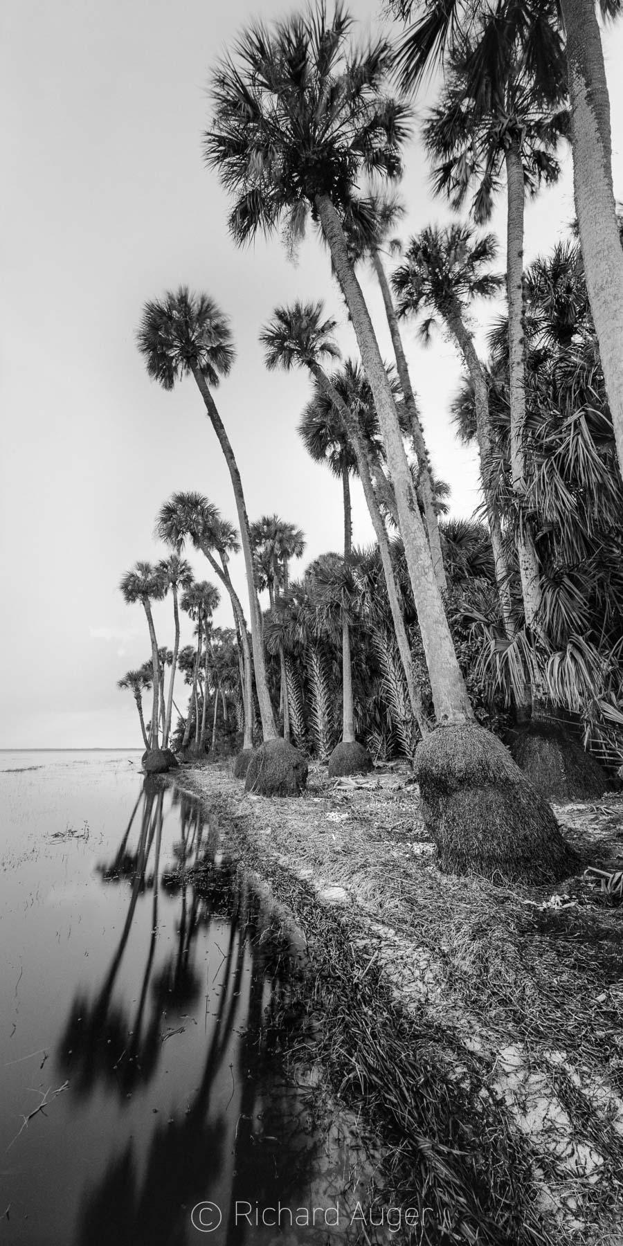 St Johns River, Florida, Swamp, Lake, Sabal Palm Trees, Fog, Black and White, Stillness, Vertical Panorama