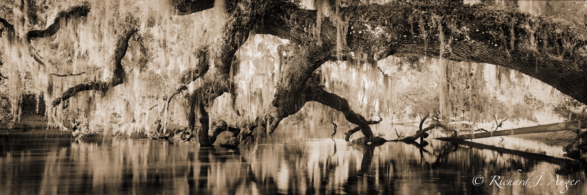 St Johns River, Oak Tree, Reflections, water, swamp, photograph, landscape, sepia tone, black and white, panorama