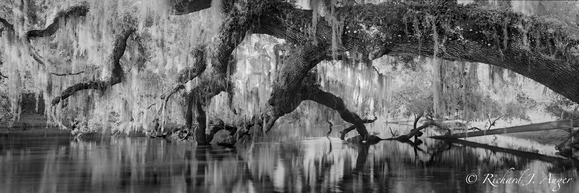 St Johns River, Florida, Oak Tree, Swamp, Moss, Black and White, Panorama, Photographer
