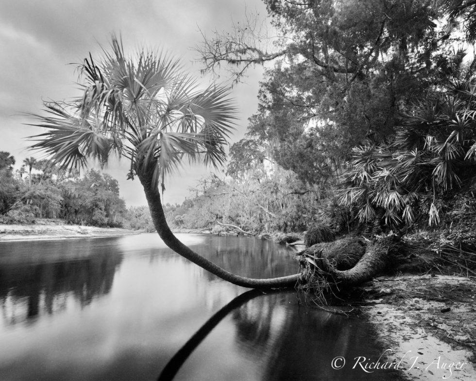 Big Econlockhatchee, St Johns River, Palm Tree, Jungle, Black and White, Swamp, River