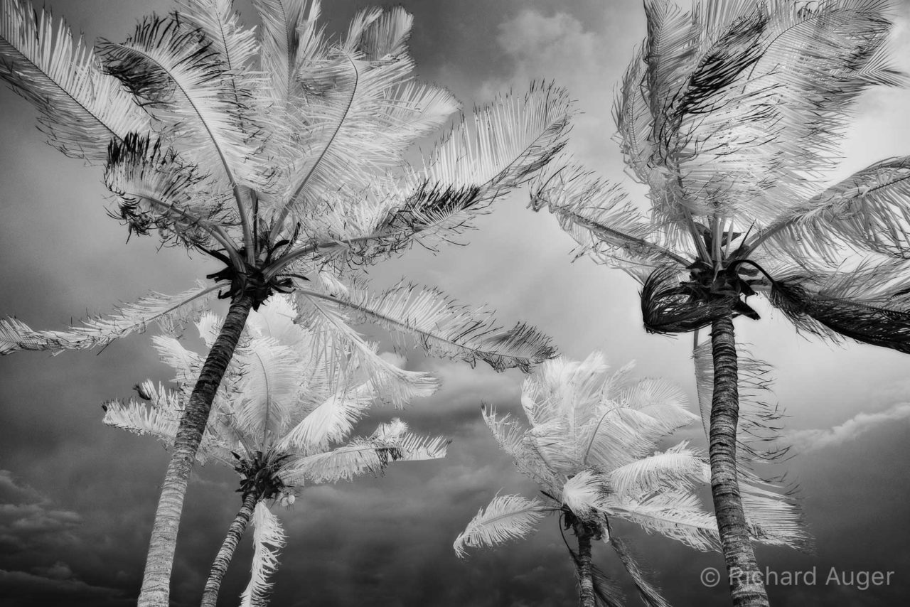 Stormy, Palm Trees, Florida, Key West, Infrared, Photograph