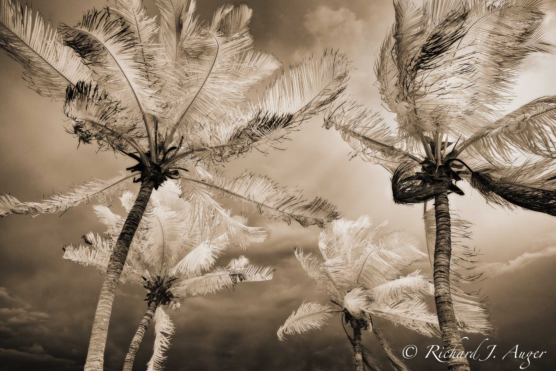 Stormy, Palm Trees, Florida, Key West, Sepia, Infrared, Photograph