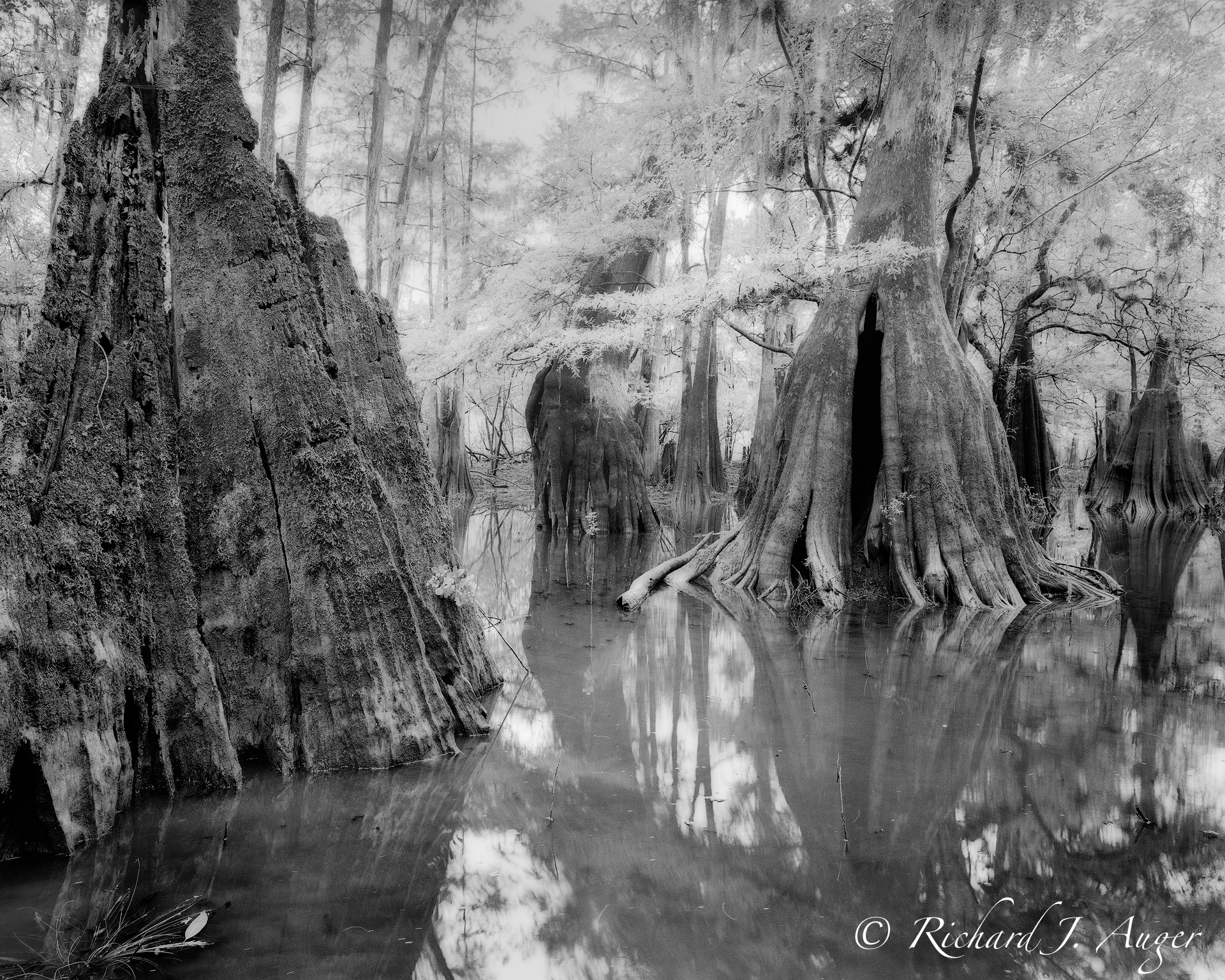Suwannee River 2, Florida, Black and White, Landscape, Cypress, Water, Forest, Trees, Swamp, Landscape, Nature, Photograph, Photographer