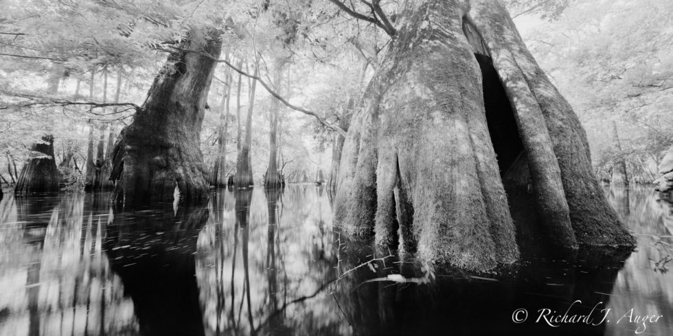 Suwannee River, Florida, Cypress, Swamp, Reflections, nature, water, photograph, black and white, panorama