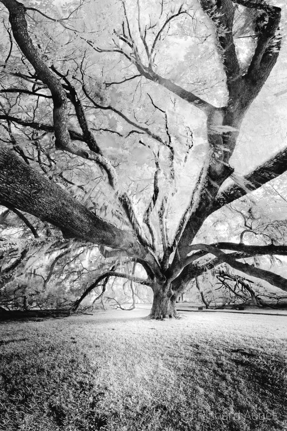 Wedding Tree, Orlando Science Center, Winter Park, Oak Tree, Angel Oak, limbs, drama, black and white, landscape, photograph