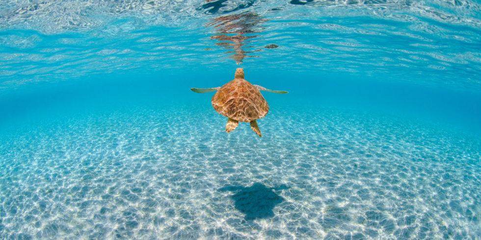 Sea Turtle, Underwater, South Florida, Tequesta, Jupiter, Hobe Sound
